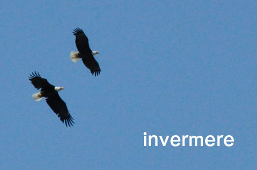 Fernie to Invermere BC - Bald Eagles